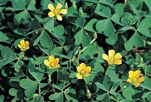 8 most common weeds infesting your lawn yellow wood sorrel mightylinksfo